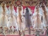 Собаки, щенки Жесткошерстный фокстерьер, цена 1300 Грн., Фото