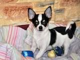 Собаки, щенки Чихуа-хуа, цена 3800 Грн., Фото