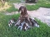 Собаки, щенята Німецька гладкошерста лягава, ціна 2600 Грн., Фото