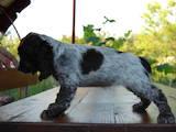 Собаки, щенята Російський спаніель, ціна 5200 Грн., Фото