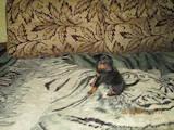 Собаки, щенята Ягдтер'єр, ціна 4000 Грн., Фото