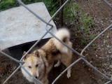 Собаки, щенята Західно-Сибірська лайка, ціна 10 Грн., Фото