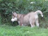 Собаки, щенки Сибирский хаски, цена 2000 Грн., Фото