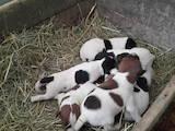 Собаки, щенята Гладкошерста фокстер'єр, ціна 800 Грн., Фото