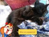 Кішки, кошенята Бомбейська, ціна 300 Грн., Фото