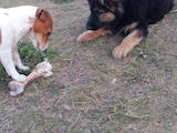 Собаки, щенята Німецька вівчарка, ціна 2500 Грн., Фото