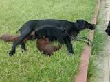 Собаки, щенята Німецька гладкошерста лягава, ціна 7800 Грн., Фото