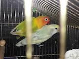Попугаи и птицы Попугаи, цена 800 Грн., Фото