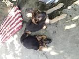 Собаки, щенята Німецька вівчарка, ціна 2600 Грн., Фото