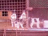 Собаки, щенята Жорсткошерстий фокстер'єр, ціна 3000 Грн., Фото