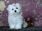 Собаки, щенки Мальтийская болонка, цена 54000 Грн., Фото