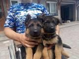 Собаки, щенята Німецька вівчарка, ціна 5210 Грн., Фото