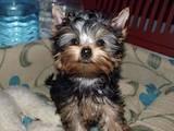 Собаки, щенята Йоркширський тер'єр, ціна 5100 Грн., Фото