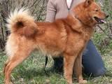 Собаки, щенки Русско-Европейская лайка, цена 3 Грн., Фото