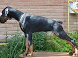 Собаки, щенята Доберман, ціна 15600 Грн., Фото