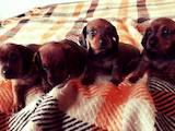 Собаки, щенята Гладкошерста кроляча такса, ціна 1500 Грн., Фото