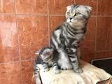 Кішки, кошенята Шотландська короткошерста, ціна 1400 Грн., Фото