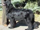 Собаки, щенки Ньюфаундленд, цена 13000 Грн., Фото