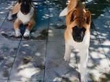 Собаки, щенята Американський акіта, ціна 15000 Грн., Фото