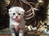 Кішки, кошенята Британська короткошерста, ціна 2500 Грн., Фото