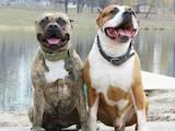 Собаки, щенки Американский стаффордширский терьер, цена 2000 Грн., Фото