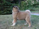 Собаки, щенята Американський акіта, ціна 26000 Грн., Фото