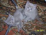 Кішки, кошенята Шотландська короткошерста, ціна 600 Грн., Фото