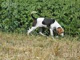 Собаки, щенки Западно-Сибирская лайка, цена 950 Грн., Фото
