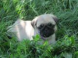 Собаки, щенки Мопс, цена 8000 Грн., Фото