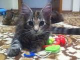 Кошки, котята Мэйн-кун, цена 7000 Грн., Фото