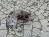 Собаки, щенята Німецька жорсткошерста лягава, ціна 2400 Грн., Фото