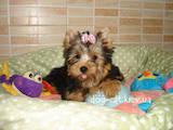 Собаки, щенки Йоркширский терьер, цена 12000 Грн., Фото