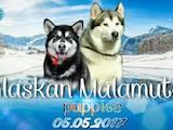 Собаки, щенки Аляскинский маламут, цена 7800 Грн., Фото
