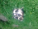 Собаки, щенята Латвійський гончак, ціна 1 Грн., Фото