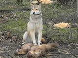 Собаки, щенята Західно-Сибірська лайка, ціна 3200 Грн., Фото