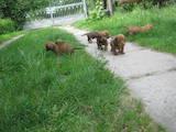 Собаки, щенята Гладкошерста такса, ціна 750 Грн., Фото
