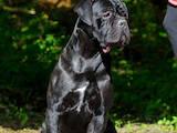 Собаки, щенки Кане Корсо, цена 42000 Грн., Фото