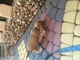 Собаки, щенята Бігль, ціна 2600 Грн., Фото