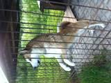 Собаки, щенки Западно-Сибирская лайка, цена 12000 Грн., Фото