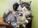 Кошки, котята Мэйн-кун, цена 3000 Грн., Фото