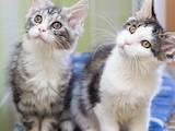 Кошки, котята Мэйн-кун, цена 2980 Грн., Фото