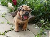 Собаки, щенки Мальоркский бульдог (Ка Де Бо), цена 20000 Грн., Фото