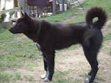 Собаки, щенята Російсько-Європейська лайка, ціна 2000 Грн., Фото