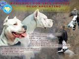 Собаки, щенята Аргентинський дог, ціна 20000 Грн., Фото