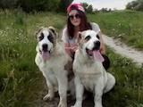Собаки, щенки Среднеазиатская овчарка, цена 5800 Грн., Фото