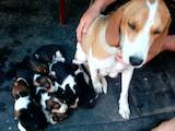 Собаки, щенки Эстонская гончая, цена 1200 Грн., Фото