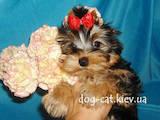 Собаки, щенки Йоркширский терьер, цена 24000 Грн., Фото