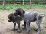 Собаки, щенята Невідома порода, ціна 1200 Грн., Фото