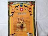 Собаки, щенки Западно-Сибирская лайка, цена 15000 Грн., Фото