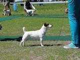 Собаки, щенята Джек Рассел тер'єр, ціна 9100 Грн., Фото